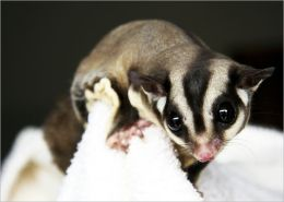 EXOTIC PETS: SUGAR GLIDERS