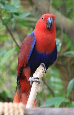 Eclectus Parrots For Beginners