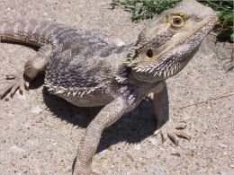 Bearded Dragon Care for Beginners