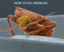 Psychology & Self Help: HOW TO KILL BED BUGS ( poker, bugbear, bugaboo, bug, bug, weakness, dereliction, Failing, Flaw, weak side )