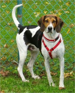 American Foxhounds for Beginners