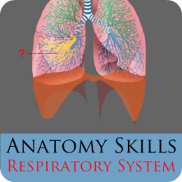 Anatomy Skills - The Respiratory System
