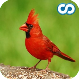 Name That Bird (species identification trivia game)