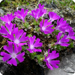 Wild Flowers of the Alps