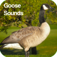 Product Image. Title: Goose Sounds