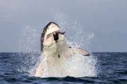 Great White Attack Photo Book Presented by Resounding Wind Publishing