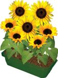 Product Image. Title: Grow Your Own Sunflowers