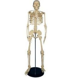 Alvin SKE-2A 34 in. Medium Plas Skeleton