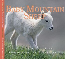 Baby Mountain Sheep
