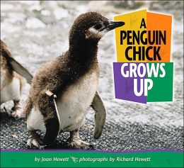 Penguin Chick Grows Up