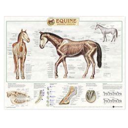 Equine Skeletal System Anatomical Chart