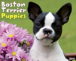 Boston Terrier Puppies 2014 Calendar