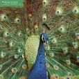 Book Cover Image. Title: 2015 Peacocks Wall Calendar, Author: Inc Flame Tree Publishing