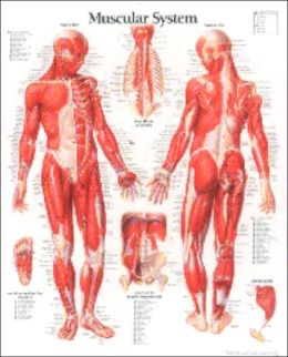 Muscular System (Male) Anatomical Wall Chart