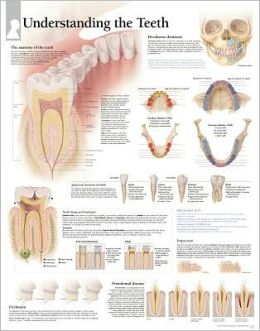Understanding The Teeth chart