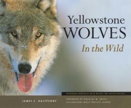Yellowstone Wolves in the Wild